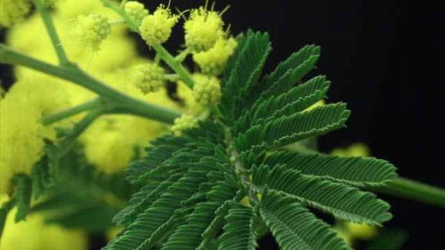 Acacia dealbata (Silver Wattle) Blooming HD