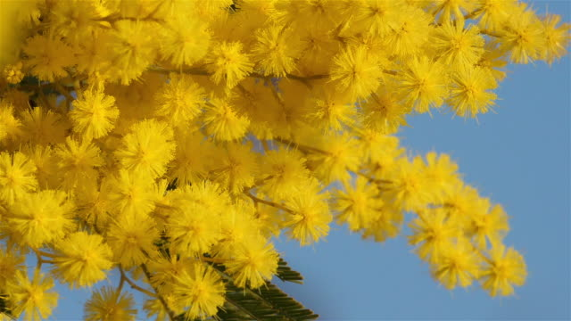 acacia dealbata, known as silver wattle or mimosa, provence, france - acacia tree stock videos & royalty-free footage