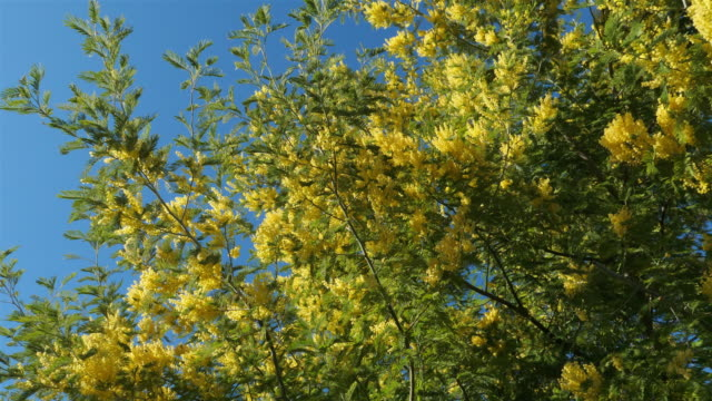 acacia dealbata, known as silver wattle or mimosa, provence, france - provence alpes cote d'azur stock videos & royalty-free footage