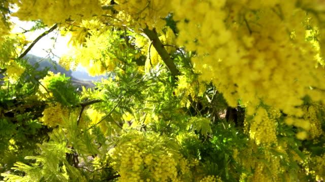 acacia decurrens - acacia tree stock videos & royalty-free footage