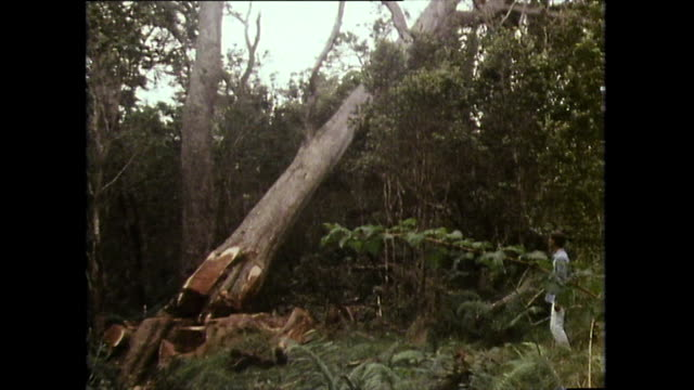 acacia koa tree being cut down in hawaii; 1983 - 以前の点の映像素材/bロール