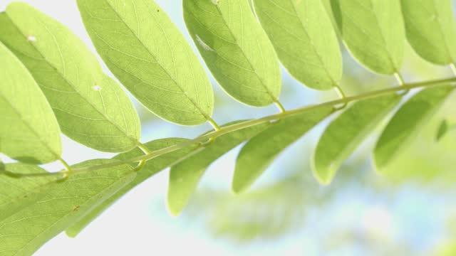 アカシアの葉, 静かな自然の背景 - 青々とした点の映像素材/bロール
