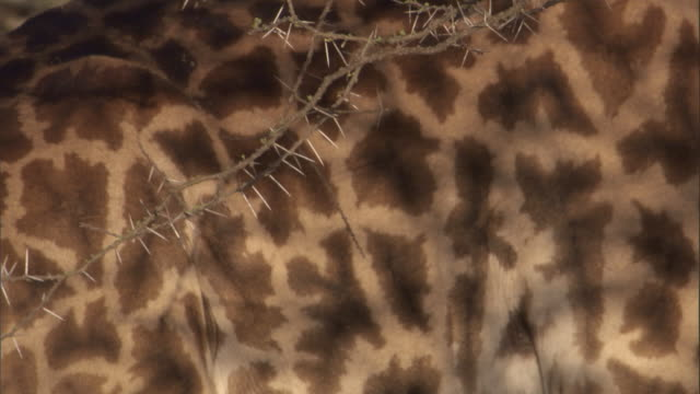 Acacia thorns make shadows on the flank of a giraffe. Available in HD.