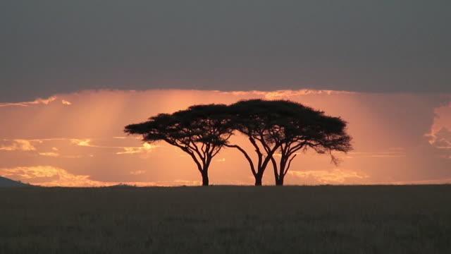 vídeos de stock e filmes b-roll de ws acacia tree against sunset sky, serengeti, tanzania - savana