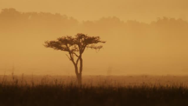 acacia tree on savannah in heat haze at sunset, kenya - acacia tree stock videos & royalty-free footage