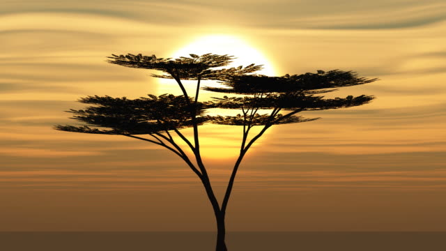 Acacia Tree Sunset