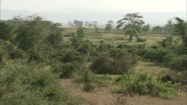 Acacia trees and shrubs grow on the savanna.