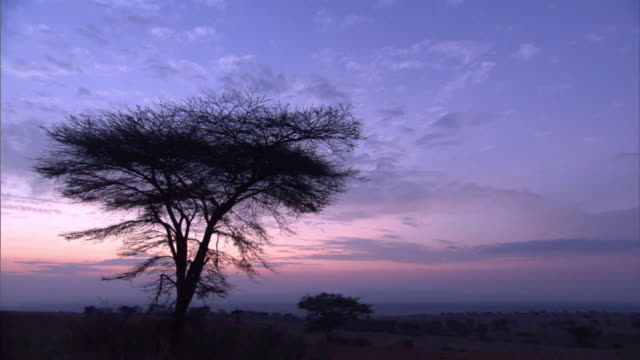Acacia trees silhouetted against dawn sky, Uganda