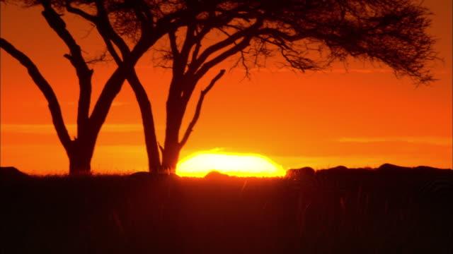 vídeos de stock e filmes b-roll de acacias and zebras at sunset in the serengeti of africa. - savana
