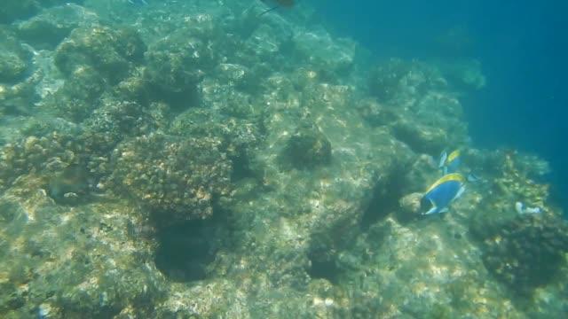 acanthurus leucosternon (powderblue surgeonfish) - unterwasserkamera stock-videos und b-roll-filmmaterial