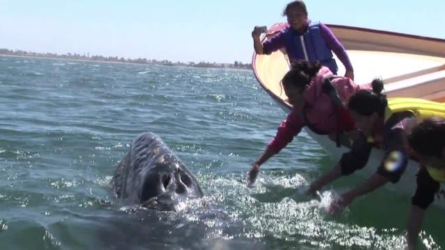 acariciar una ballena gris es posible voiced acariciar ballenas en el pacifico on april 03 2012 in cabo pulmo mexico - gris stock videos & royalty-free footage
