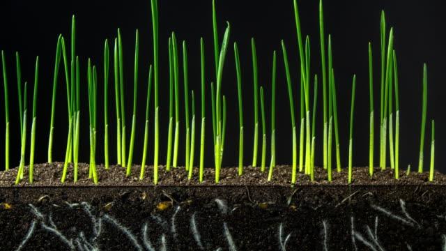 vídeos de stock, filmes e b-roll de crescimento acelerado da grama verde nova fresca na terra earthen escura. timelapse. 4k. crescer trigo é uma atividade mais adequada para as vastas planícies de kansas e nebraska. - raiz