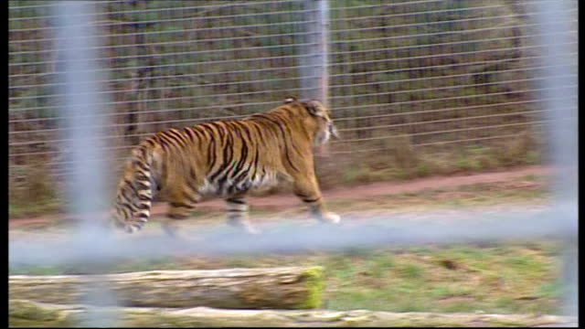 zoo keeper dies after being mauled by tiger england cumbria south lakes wild animal park ext tiger on poster promoting the zoo tiger along in... - cumbria stock-videos und b-roll-filmmaterial