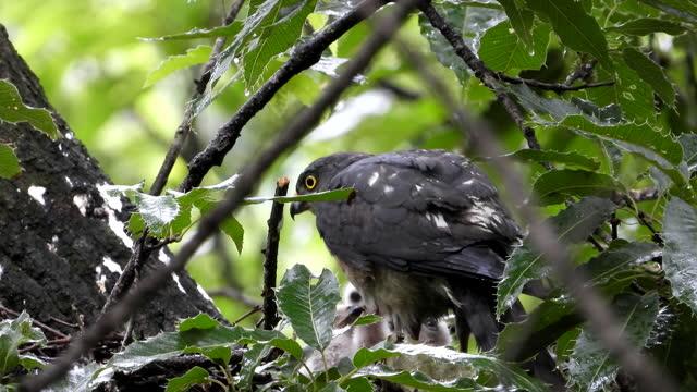 accipiter soloensis (hawk) brooding / okcheon-gun, chungcheongbuk-do, south korea - bird of prey stock videos & royalty-free footage