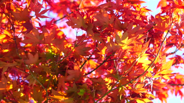 acer palmatum red leaves 4k - maple tree stock videos and b-roll footage