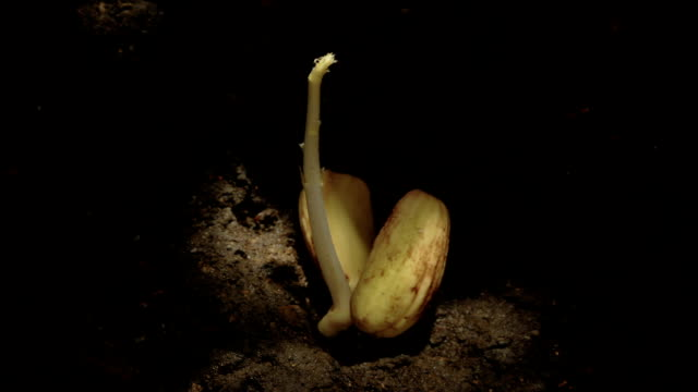 """Acorn growing underground, timelapse"""