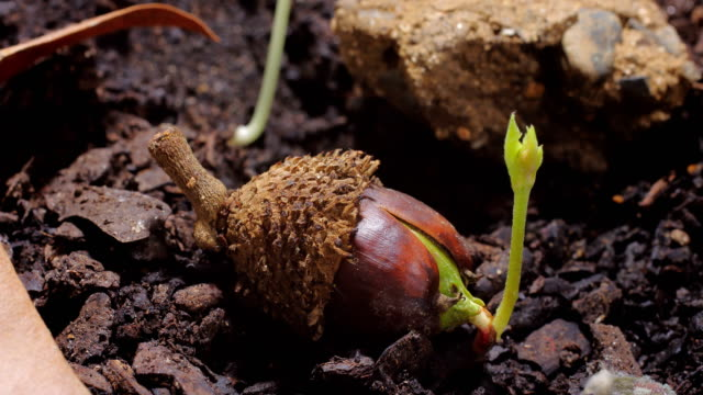 acorn sprout time lapse video - oak stock videos and b-roll footage