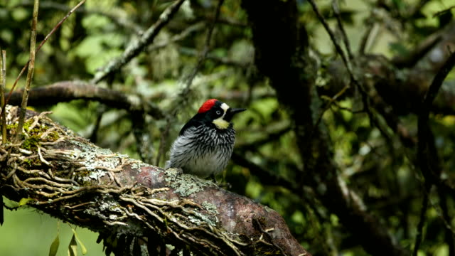 acorn woodpecker  feeding (melanerpes formicivorus)  in natural surroundings - woodpecker stock videos & royalty-free footage