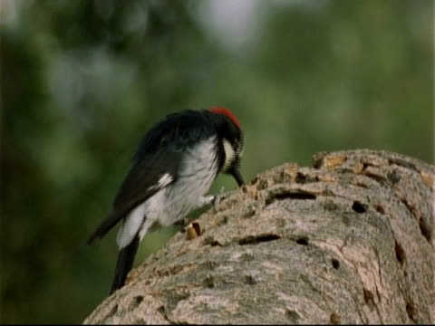 acorn woodpecker (melanerpes formicivorus)pecking at granary tree, close up - woodpecker stock videos & royalty-free footage