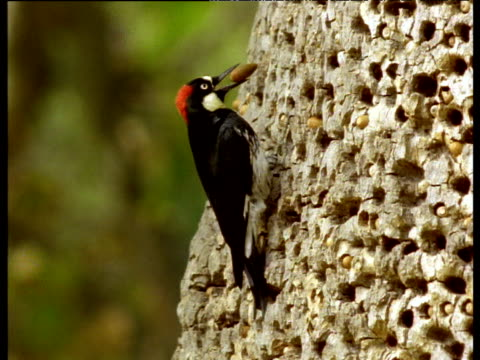 Acorn woodpecker tending to its acorn larder, hammers acorn into hole in tree trunk, USA