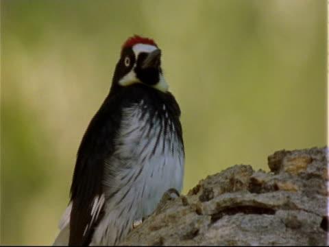 acorn woodpecker (melanerpes formicivorus) - woodpecker stock videos & royalty-free footage