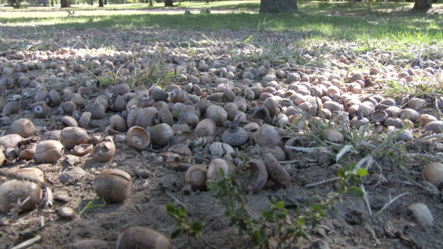acorns covering the ground in autumn - flushing meadows corona park stock videos and b-roll footage