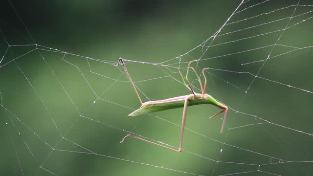 vídeos de stock, filmes e b-roll de acrida cinerea (grasshopper) caught in spider's web - teia de aranha