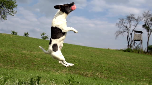 hd super slow-mo: acrobatic dog in the action - stunt stock videos & royalty-free footage