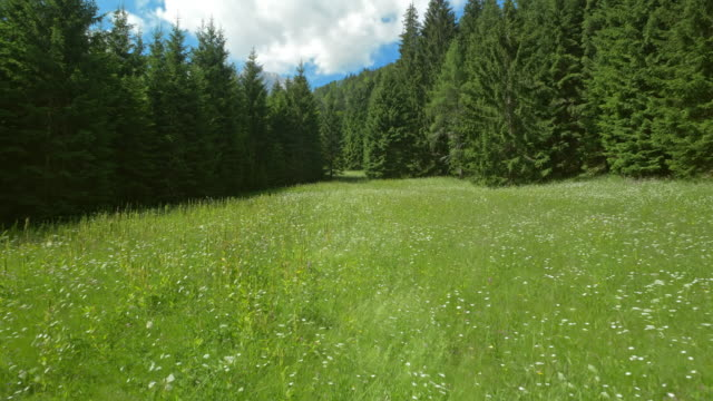 aerial across a meadow in a fir tree forest on a sunny day - meadow stock videos & royalty-free footage