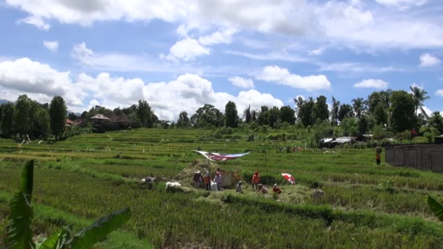ws across paddy fields along the road from seririt to sanda in west bali with farmers working a threshing machine in the foreground - threshing stock videos & royalty-free footage