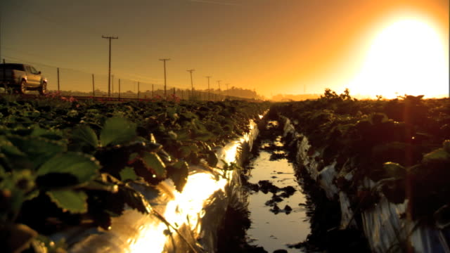 Across rows of strawberry plants in plastic tubing in field small puddle of water FG trees fence telephone poles silhouetted against yellow sky...