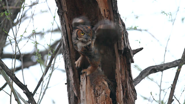 ms  4k action shot of a great horned/tiger/hoot owl (bubo virginianus) flying from it's nest - bird's nest stock videos and b-roll footage