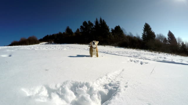 Active beagle dog fooling around and runs by the snowy mountain field