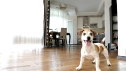 Active Dog is standing in the living room and asking for attention. Wants to play. Video footage