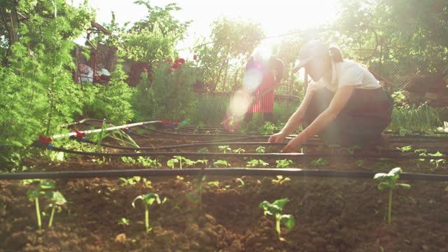 vídeos y material grabado en eventos de stock de activa mujer mayor cuidando el huerto con su nieta. revisando las plántulas de ensalada verde al atardecer. - escena no urbana