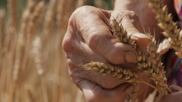 Active Seniors Farmer's Hands Holding The Wheat