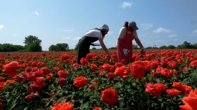 active seniors. working in the rose fields. the abundance of the decorative rose is in its peak. - bulgaria stock videos & royalty-free footage