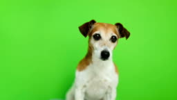 active small dog come to frame and then leave. Video footage. Green chroma key background. Lovely white Jack Russell terrier dog.