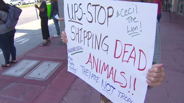 ktla activists protested ups against the transport of biggame trophies in the wake of the shooting death of cecil the lion - hunting stock videos & royalty-free footage