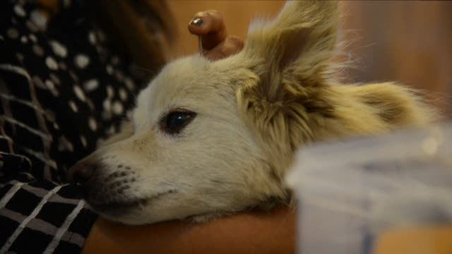 acupuncture blood filtration kidney cleanses no treatment is too much for the furry friends of delhi's wellheeled residents who splash out at... - pampered pets stock videos and b-roll footage