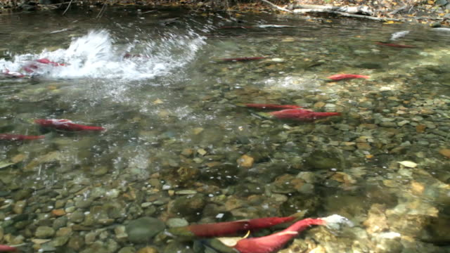 adams river crowded - british columbia stock videos & royalty-free footage