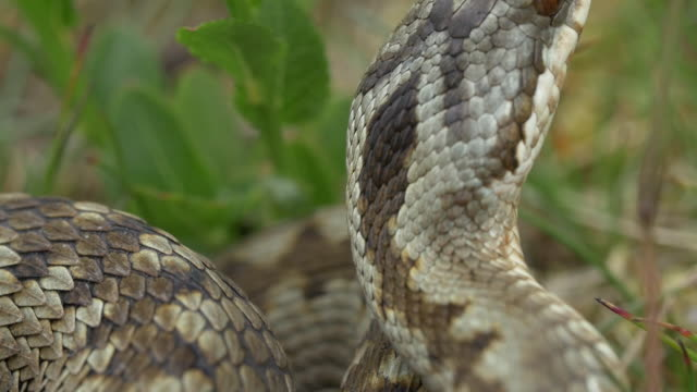 adder venomous snake (vipera berus) in long grass, south downs - reptile stock videos & royalty-free footage
