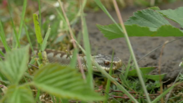 adder venomous snake (vipera berus) moving in long grass, south downs - reptile stock videos & royalty-free footage