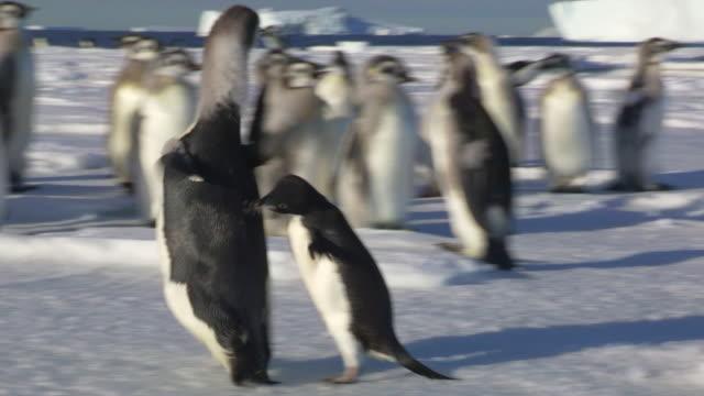 Adelie penguin chases huge fledgling Emperor penguin past camera