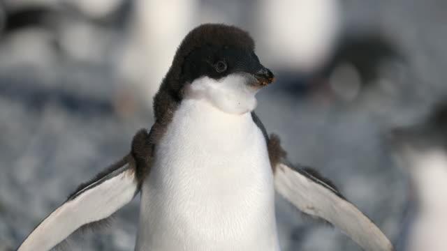 vídeos y material grabado en eventos de stock de adelie penguin chick looking and walking towards camera - pingüino