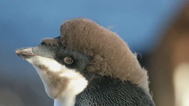 Adelie Penguin chick with funny hair, molting