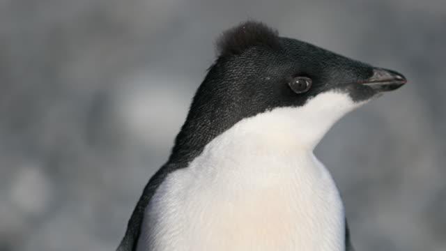 stockvideo's en b-roll-footage met adelie penguin chick with funny hair, molting - hanenkam haardracht