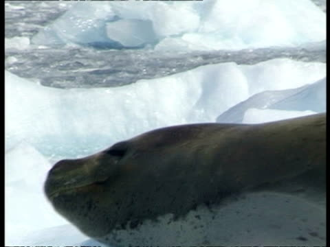 ms adelie penguin colony waddling toward water, leopard seal watches, sequence, antarctica - waddling stock videos & royalty-free footage
