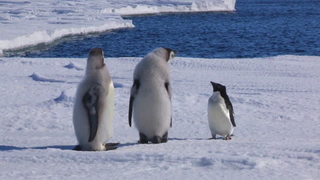 adelie penguin dwarfed by two fledgling emperor penguins - young bird stock videos & royalty-free footage