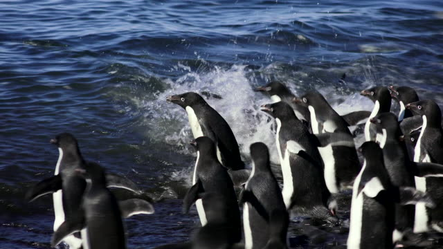 vídeos y material grabado en eventos de stock de adelie penguin group dashing into ocean, brown bluff, antarctic peninsula, southern ocean - grupo de animales